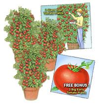 Tomato Giant