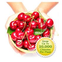 Cherry Hedge